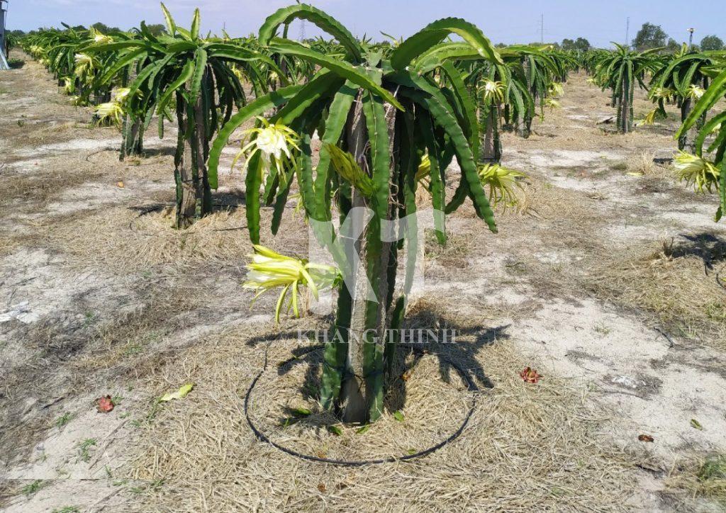Tưới nhỏ giọt cho cây thanh long Microdrip - Netafim