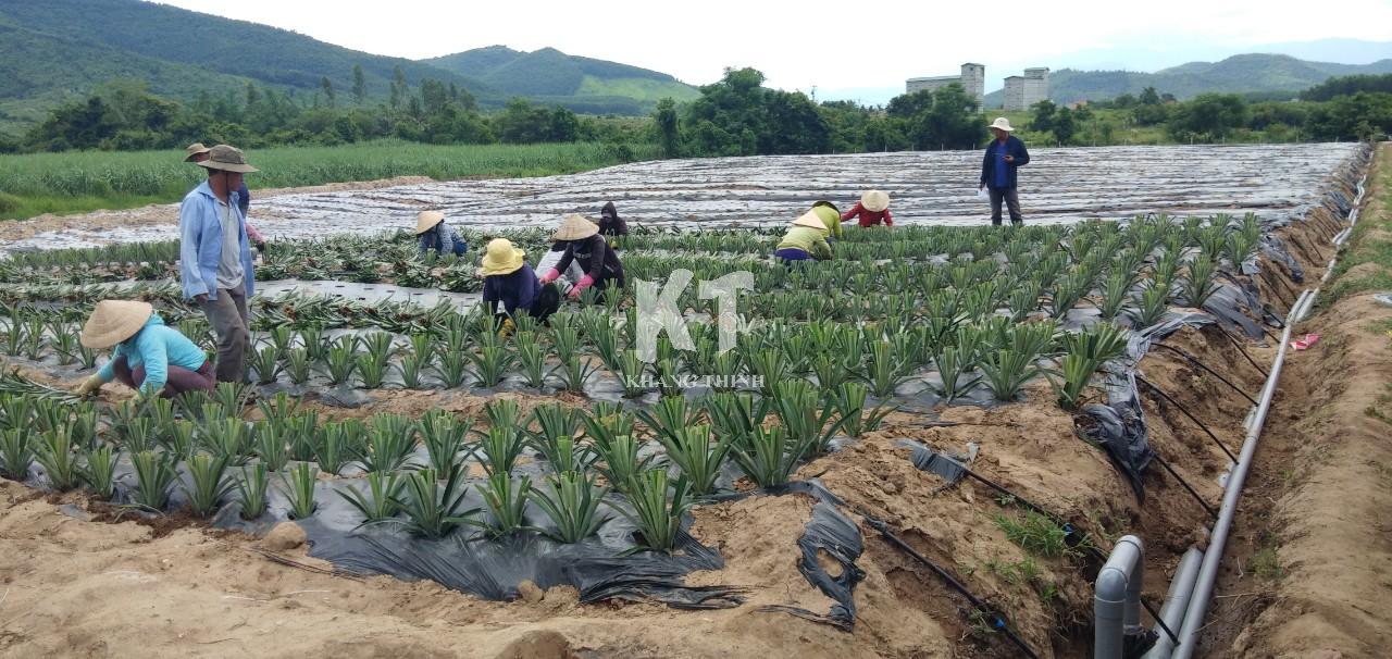 Hệ Thống Tưới Nhỏ Giọt Cho Dứa MD2 - Khánh Hòa